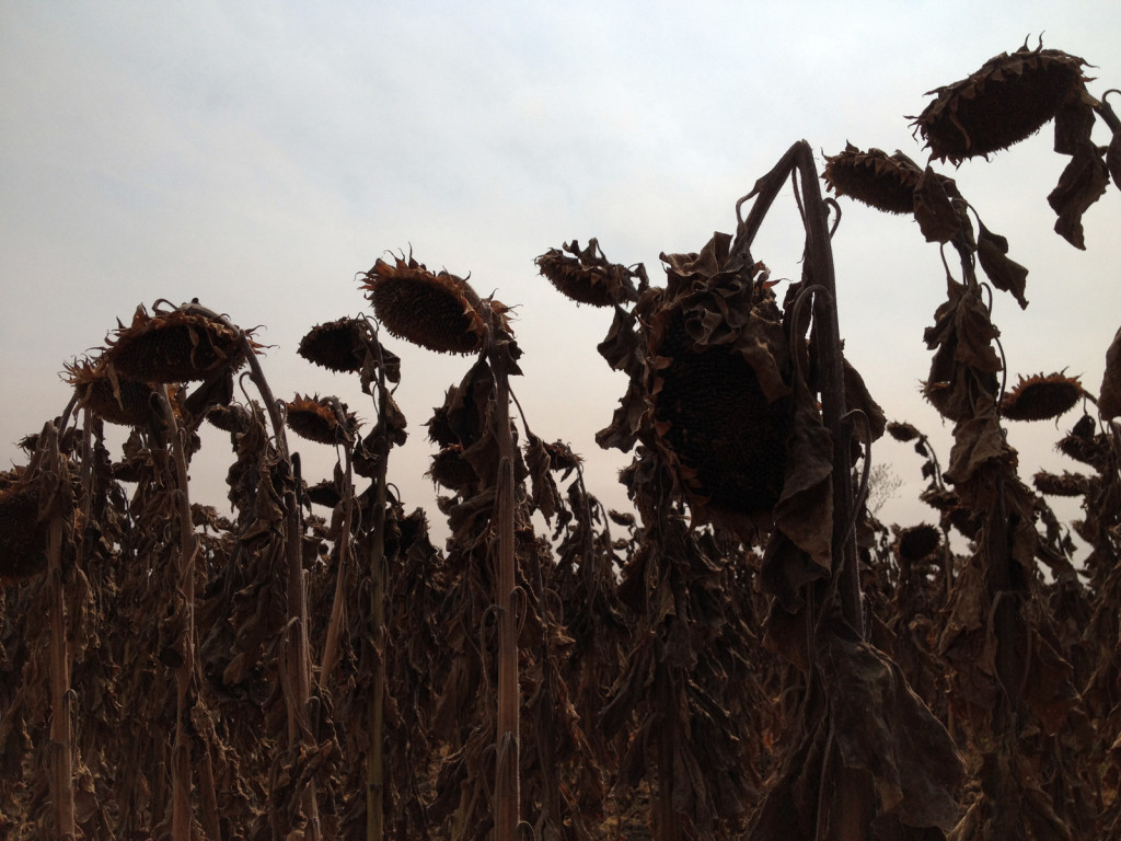 Sunflowers near harvest time. Photo © Ben Young Landis.