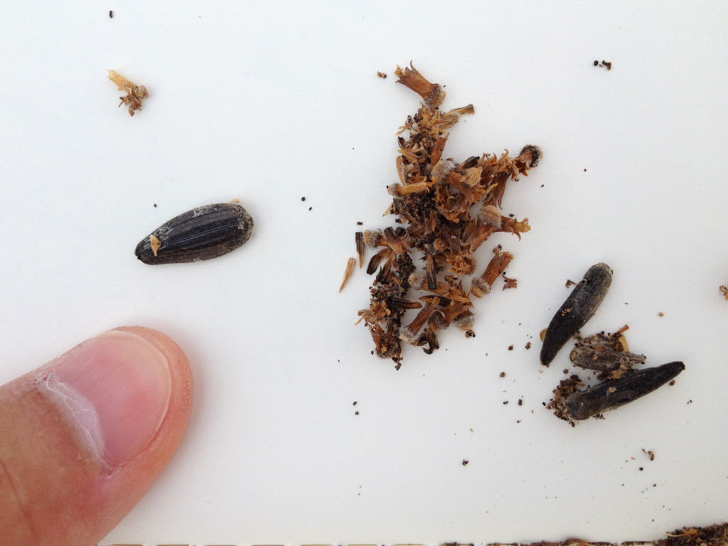 Specks of caterpillar frass and silk, spread on a notebook page, with a healthy sunflower seed to the right, and malformed, caterpillar-damaged seed to the right. Photo © Ben Young Landis.